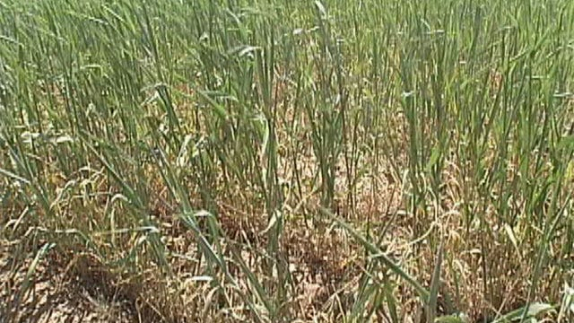 Wheat Crop Devastated By Extreme Oklahoma Drought
