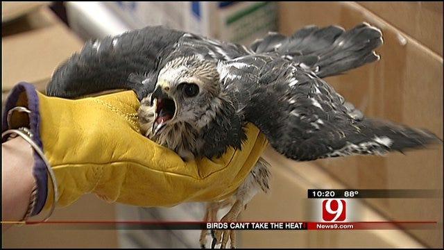 Oklahoma Heat Wave Baking Baby Birds