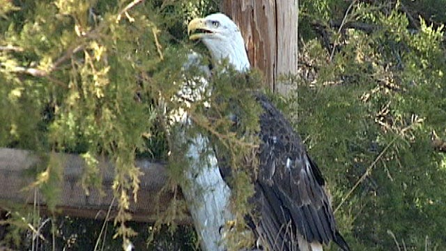 Bald Eagle Making Steady Recovery At Noble Wildlife Center