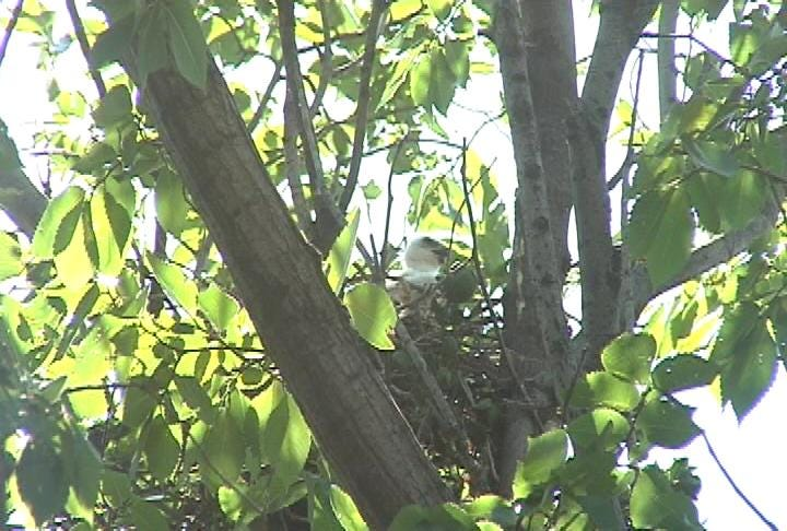 Hawk Family Has Neighbors Crying Fowl