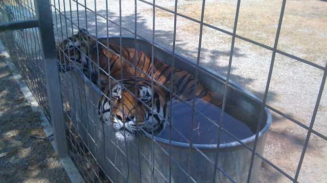 Extreme Heat May Force A Wynnewood Exotic Animal Park To Close