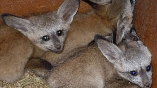 OKC Zoo Feeling 'Foxy' With New Births