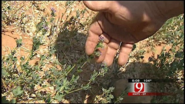 Oklahoma Crops, Farmers Suffer From Drought