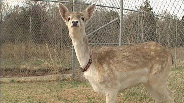 Darby The Deer Returned To Owners In Edmond
