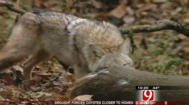 Coyotes Invade The Metro