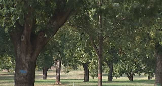 Drought Doesn't Dry Up Pecans In Luther