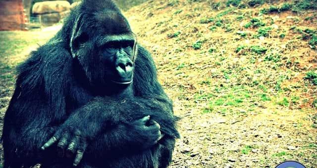 OKC Zoo Gorilla Makes Red River Rivalry Prediction