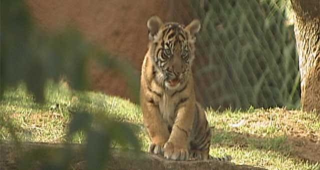 Four Tiger Cubs Born At OKC Zoo
