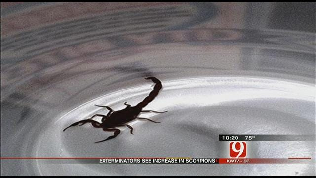 Oklahoma Drought Brings Out Scorpions
