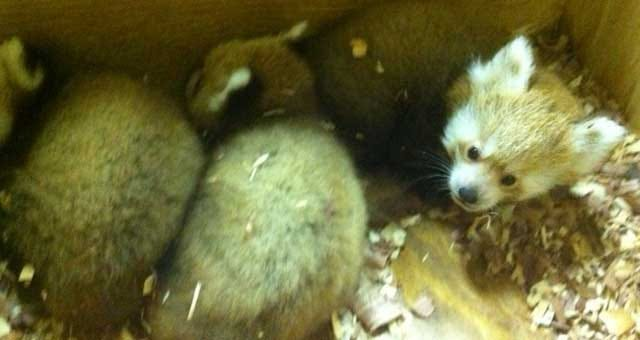 The OKC Zoo Welcomes Three Red Panda Cubs