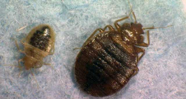 Bed Bugs Invade Norman Library