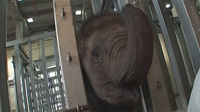 OKC Zoo To Celebrate Malee The Elephant's First Birthday