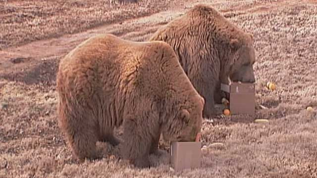 Bears At Oklahoma City Zoo Disagree With Groundhog