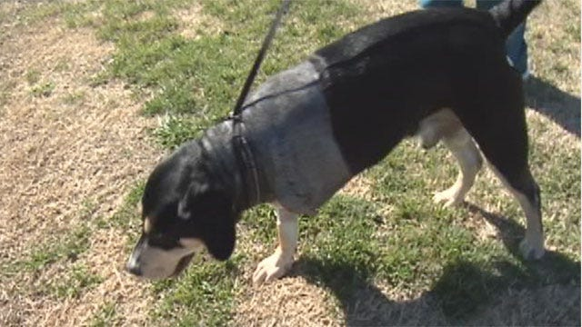 Meet Brutus,The Pup That Won't Give Up After Being Shot