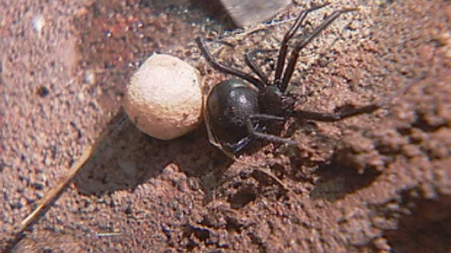 Oklahomans Battle Infestation Of Black Widow Spiders