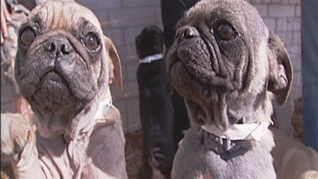 Dog Rescue Group Saves 32 Pugs From OKC House