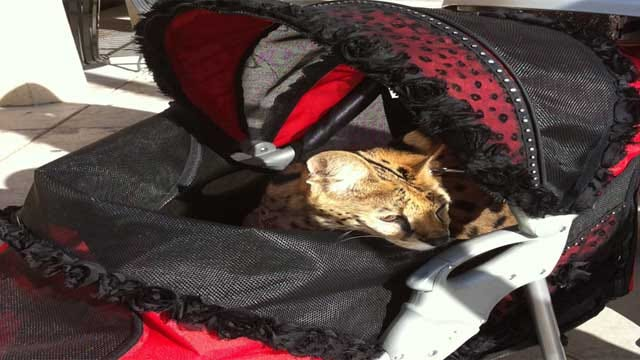 Shopper Strolls Exotic Animal Through OKC Mall