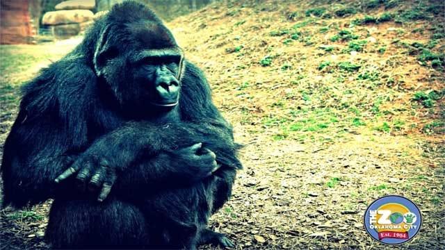 OKC Zoo Gorilla Apparently A Sooner Fan