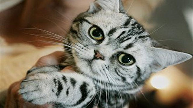 International Cat Show To Bring Exotic Breeds To OKC