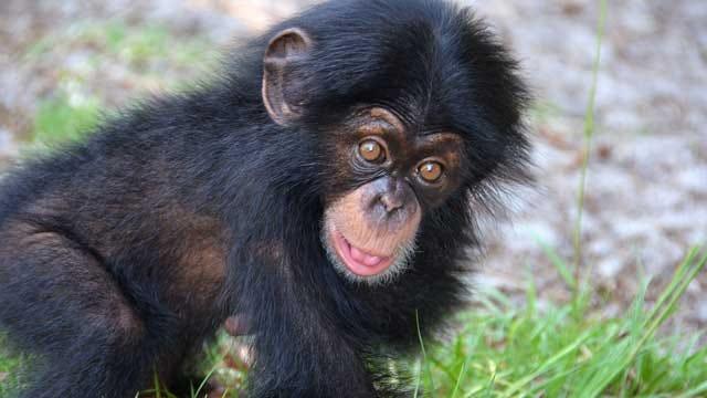 OKC Zoo Adopts Infant Chimpanzee