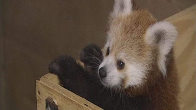 OKC Zoo's Baby Red Panda Named 'KayDee'