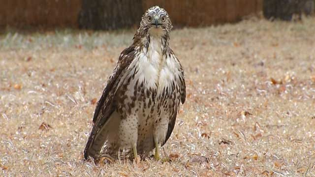 Hawk Found With Wings Frozen In OKC During Ice Storm