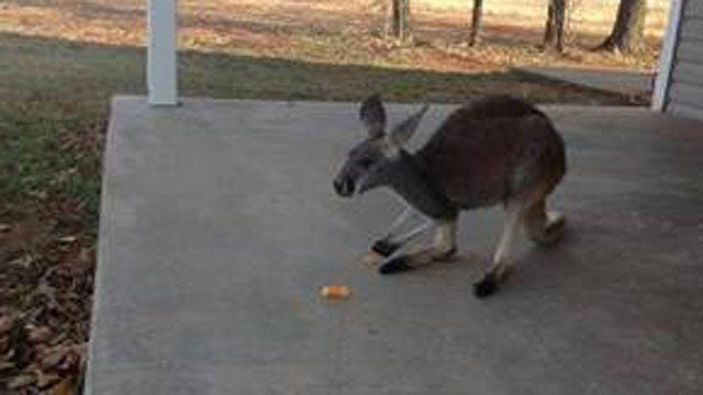 Oklahoma Hunter Catches Kangaroo On Camera