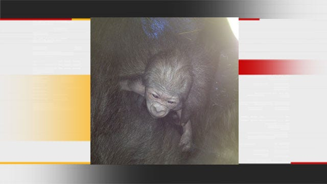 Baby Gorilla Born On Valentine's Day At OKC Zoo