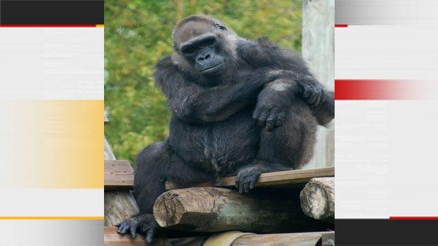 Gorilla, Longtime Resident Of OKC Zoo, Dies