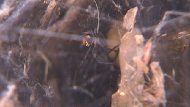 Summer Heat Brings Out More Spiders In Oklahoma