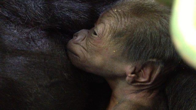 OKC Zoo Names Infant Gorilla