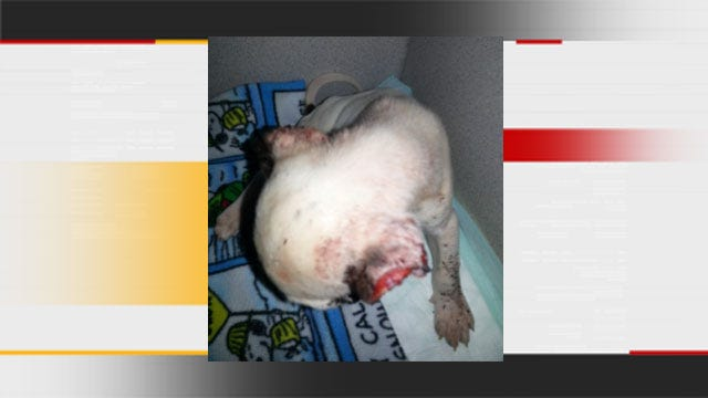 Puppy Found With Ears Cut Off In OKC [Warning: Graphic Images]