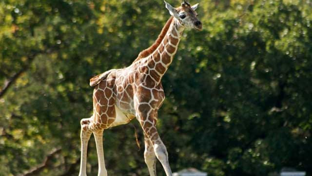 OKC Zoo's Giraffe Dies In Surgery Tuesday