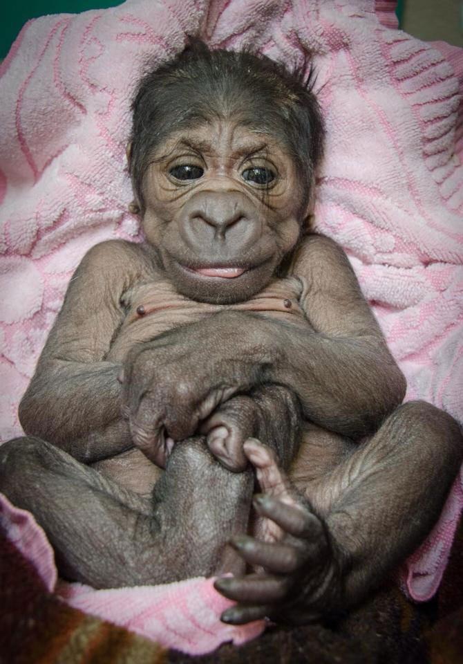 OKC Zoo Celebrates Birth Of Baby Gorilla