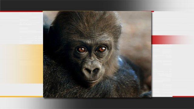 OKC Zoo To Celebrate Gorilla's First Birthday