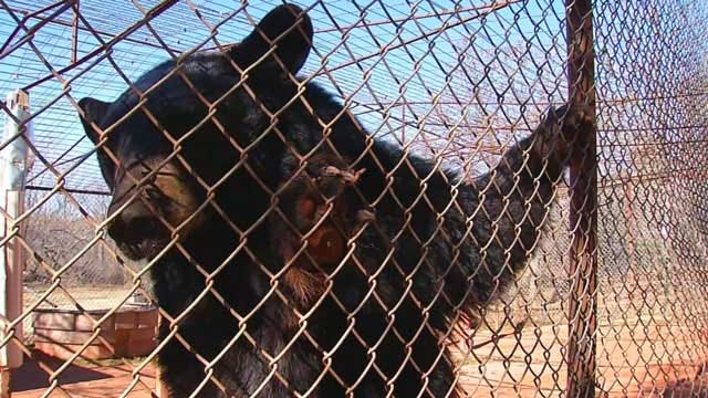 GW Zoo Takes In Tigers, Bears From Overwhelmed Owners