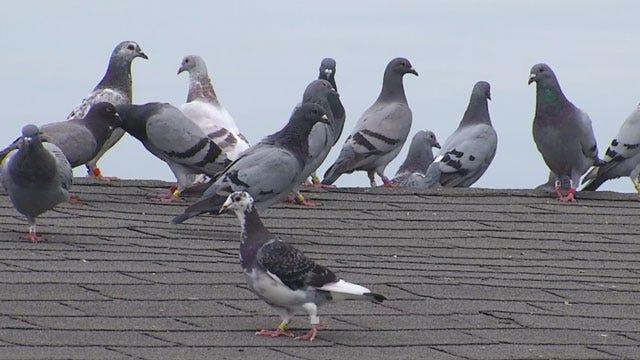 OKC Breeder Defends Pigeon Racing After PETA Investigation
