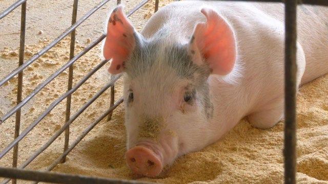 New Pig Virus Takes Toll Of Oklahoma Pork Prices