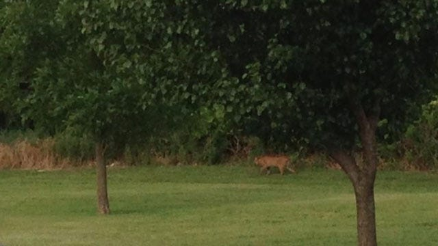 Shawnee Residents Concerned About Mountain Lion