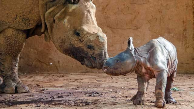 OKC Zoo Celebrates Birth Of Indian Rhino