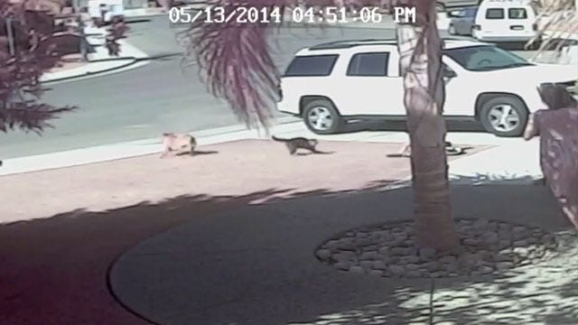 California Family Cat Saves Boy From Dog Attack