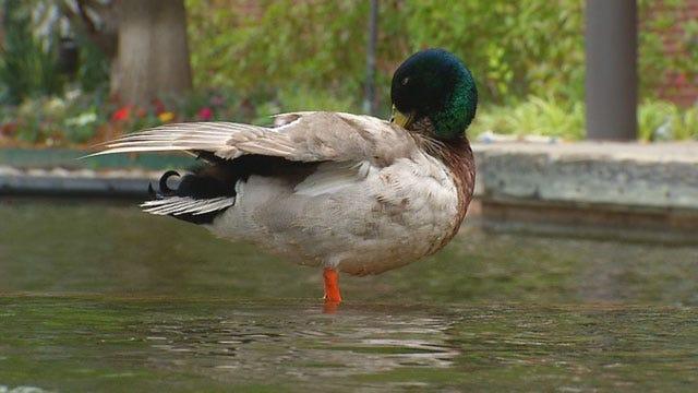 Dead Ducks Found Along Bricktown Canal