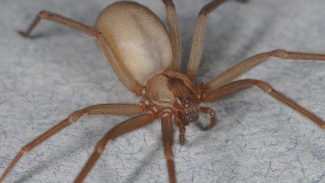Arachnophobia: Recent Rains Lead To Spike In Spider Population