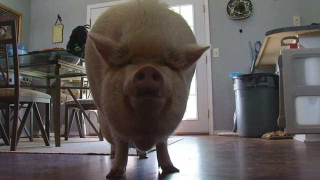 OKC Woman's 'Emotional Support' Pig Sparks Dispute