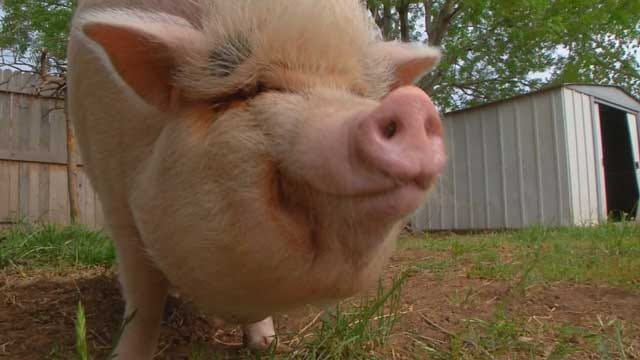 Woman Gets Help In Fight To Keep 'Emotional Support' Pig