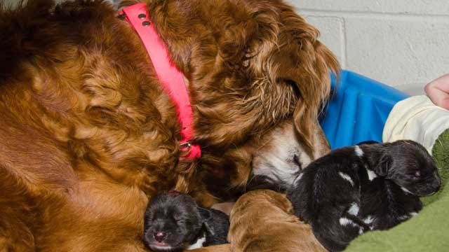 Golden Retriever Nurses Litter Of African Wild Dogs Born At OKC Zoo