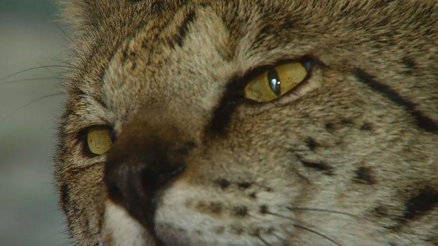 Red Dirt Diaries: Oklahoma Ambassador Of Savannah Cat Breed