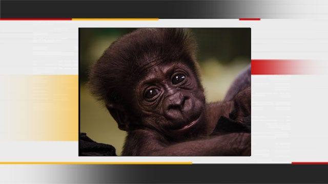 Baby Gorilla Born At OKC Zoo Gets New Home