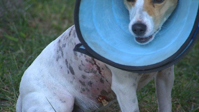 Norman Dog Owner Says Pit Bull Attacked Small Dogs