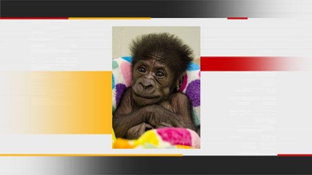 Oklahoma City Zoo Names New Baby Gorilla
